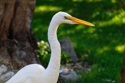 A very beautiful white heron with a back lit beak