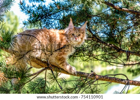 A very big American maine coon kitten with high ears sitting on a tree on a summer day in the woods. #754110901