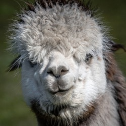 A very close portrait of the head and face of a white alpaca, Vicugna pacos. It is staring forward at the camera