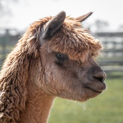 A very close profile portrait of the head and side face of a brown alpaca, Vicugna pacos. It is looking to the right and slightly down.