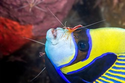 A very colorful emperor yellow and blue angelfish at a cleaning station where the white striped cleaner shrimp eat the parasites that attach to the angelfish.