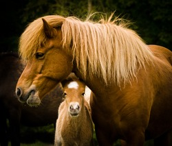 A very cute and curious small chestnut foal of an Icelandic horse with a white blaze, looks under it`s mothers neck into the world