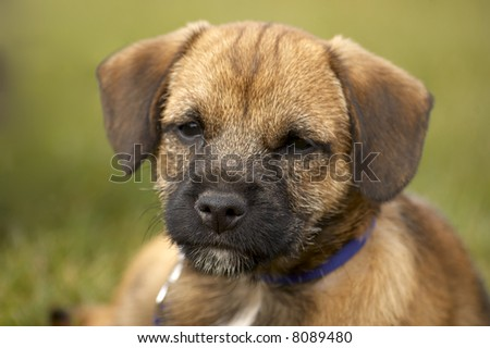 Border Terrier Puppies on Very Cute Border Terrier Puppy Stock Photo 8089480   Shutterstock