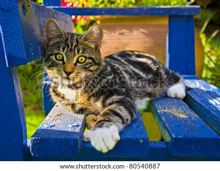a very cute image of a playful tabby kitten lying on a blue painted wooden garden bench watching the photographer curiously