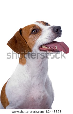 A very cute Jack Russell Terrier