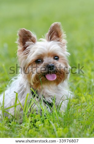 A very cute yorkshire terrier sticking his tongue out