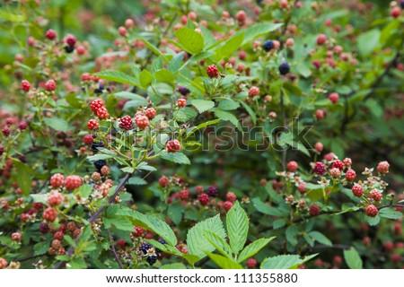 A very densely populated blackberry bush.