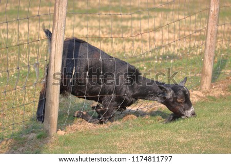 A very determined goat is convinced that the grass is greener on the other side of the fence.