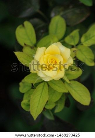 A very gorgeous yellow rose flower with light green leaves. This is a picture of isolated yellow rose.