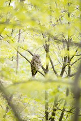 A very large adult barred owl is perched up in a tree hunting for its next meal in a forest. Owls are predators and will eat just about any animal their size or smaller. They will also attack owls