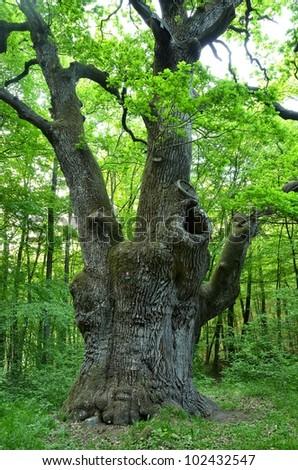 a very large oak tree