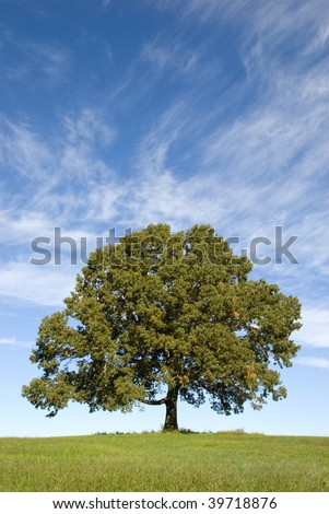 A very large old Oak Tree standing a lone with a pretty blue sky with clouds, vertical with copy space