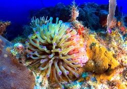A very large sea anemone flourishing in Florida Keys National Marine Sanctuary.