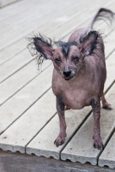 A very old hairless Chinese Crested dog.  The Chinese Crested breed are frequent winners of the ugliest dog contest.