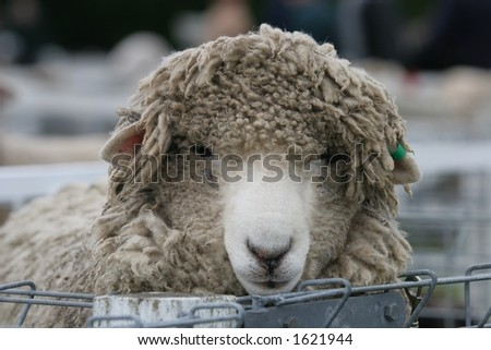 A very shaggy sheep in the sheep pens at a stock show.  Shallow DOF.