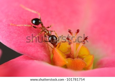 A very small black ant eats nectar on a pink petal. Got this shot with micro photography equipments