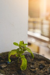 A very small tiny plant with rotten leaves in a pot with selective focus