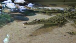 A very sweet crocodile cub.  Saltwater crocodile