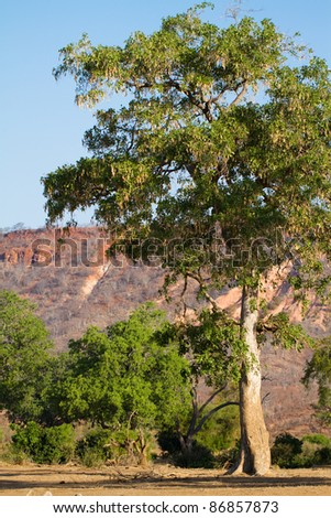 A very tall apple leaf tree in Zimbabwe's Gonarezhou National Park - stock photo