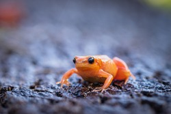 A very tiny orange frog with black eyes on a wet surface. Very cute and fragile looking amphibian. Curious and cute exotic animal.