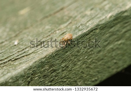 A very tiny Snout Weevil which is a beetle that eats plant material and is considered a pest in food and flower production.