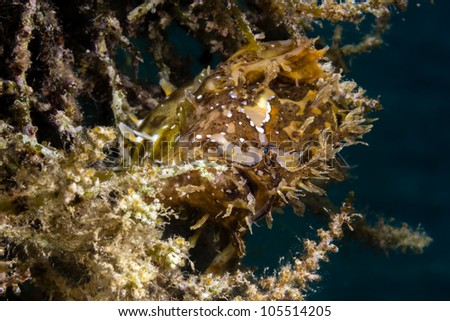 A very well camouflaged Sargassum Frogfish hides in seaweed on a shallow water buoy line.  The extended stomach shows the fish has recently eaten a large meal.