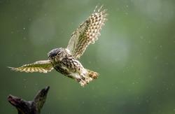 A very wet little owl flying through the rain