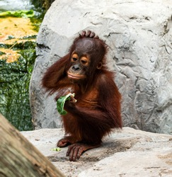 A very young orangutan is standing on a rock scratching its head while eating a green leaf.