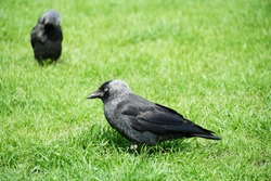 A very young raven, called Corvus in Latin, with plumage of several grey shades standing on a bright green lawn. Lateral view of the bird, with silhouettes of another one in the background.