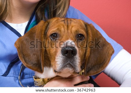 A veterinarian holding onto a purebred beagle dog during his visit.  He looks a little nervous. - stock photo