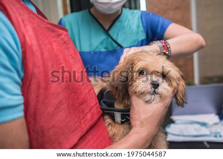 A veterinarian injects 5 in 1 vaccine into the back of an uneasy Lhasa Apso puppy at a local clinic. Stock photo ©