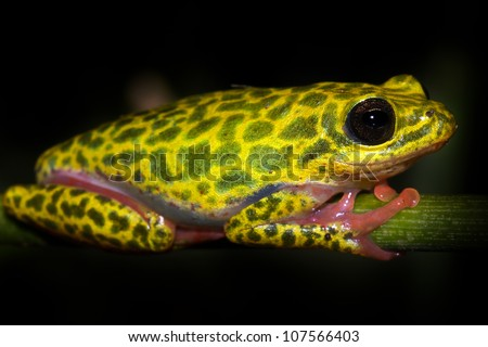 A VIBRANT Common Reed Frog (Hyperolius viridiflavus variabilis) in Uganda, Africa. Isolated on black with plenty of space for text. Pink, red, yellow, green colours dominate.