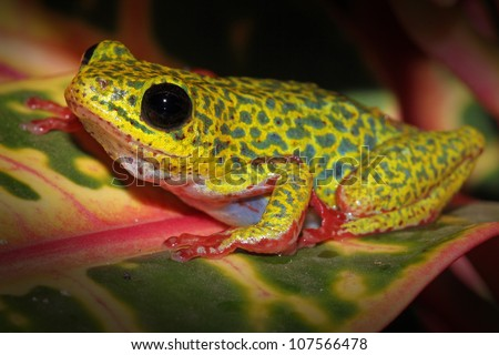 A VIBRANT Common Reed Frog (Hyperolius viridiflavus variabilis) in Uganda, Africa. Isolated on black with plenty of space for text. Pink, red, yellow, blue, green colours dominate.