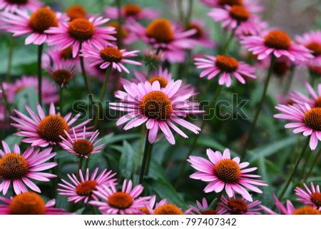 A vibrant growing patch of Echinacea Purpurea also known as Purple Coneflower.