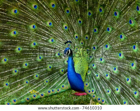 A vibrant peacock strutting his stuff
