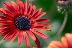 A vibrant, red African daisy, with a deep purple center, blooms against a green background.