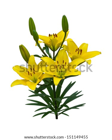 A vibrant spray of golden yellow Asiatic lily flowers (Lilium bulbiferum croceum) and buds, isolated on white with clipping path.