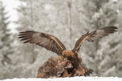 A vicious golden eagle eating its hunted racoon on the snowy field in the wild