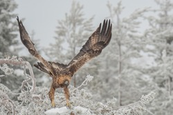 A vicious golden eagle taking off from the tree branch covered in snow in winter