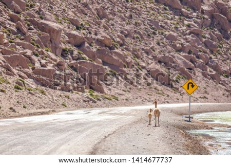 A Vicuna family animal group with a mother and its baby crossing a dirt road at Andean Altiplano inside Atacama Desert. High risk of run  over while driving on this wild environment. Awe wildlife  #1414677737