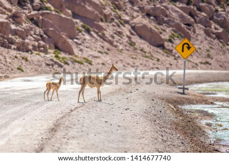 A Vicuna family animal group with a mother and its baby crossing a dirt road at Andean Altiplano inside Atacama Desert. High risk of run  over while driving on this wild environment. Awe wildlife  #1414677740