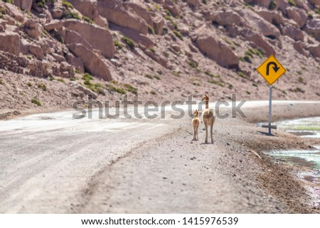 A Vicuna family animal group with a mother and its baby crossing a dirt road at Andean Altiplano inside Atacama Desert. High risk of run  over while driving on this wild environment. Awe wildlife  #1415976539