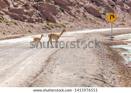 A Vicuna family animal group with a mother and its baby crossing a dirt road at Andean Altiplano inside Atacama Desert. High risk of run  over while driving on this wild environment. Awe wildlife  #1415976551
