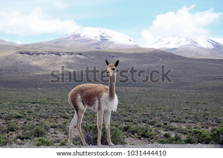 A Vicuna in the Arequipa region on the way to the Colca Canyon in Peru.