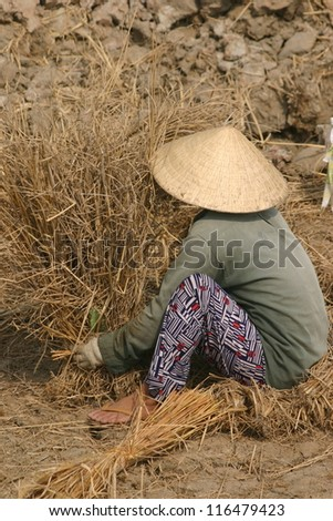 A Vietnamese field worker harvests dried rice stalks after they turn brown in the sun.
