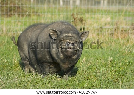 A Vietnamese pot bellied pig smiling at the camera - stock photo