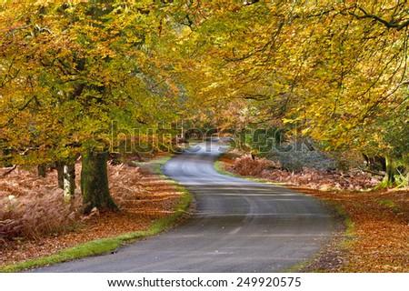 A view along Bolderwood Drive through beech trees. #249920575