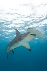 A view from below a hammerhead shark with blue water in background.  Sphyrna mokarran
