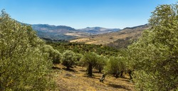 A view from the Madonie Mountains, Sicily across an Olive grove to the valley below in summer