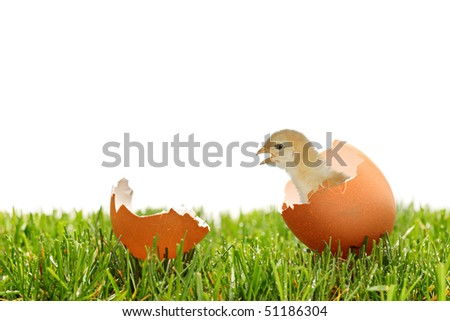 A view of a baby chicken on a green grass isolated on white background